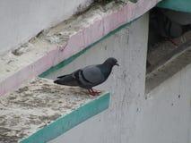 Голубь голубя голубя или утеса или утеса или птица Columba Livia в Индии Стоковое фото RF