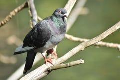 Голубь голубя утеса в дереве Стоковое фото RF