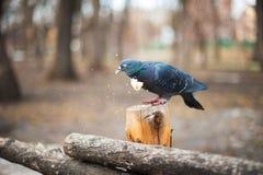 Голубь ест конец-вверх хлеба Эффектный фотоснимок макроса птицы с едой в своем клюве текст предпосылки ваш Стоковое Изображение