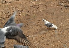 Голубь идет на желтую траву весной или парк осени, предохранение от птицы и проблемы окружающей среды в городе Стоковая Фотография RF