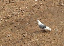 Голубь идет на желтую траву весной или парк осени, предохранение от птицы и проблемы окружающей среды в городе Стоковое Изображение RF