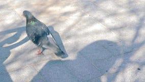 Голубь идя и качать своя голова, ища еда для еды видеоматериал