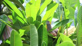 Голубь насиживая на гнезде, птице на дереве видеоматериал