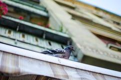 Голубь на балконе Стоковая Фотография