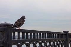 Голубь на выкованной загородке Стоковая Фотография RF