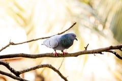 Голубь на дереве - том взгляде стоковые изображения rf