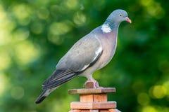 Голубь на доме птицы в лете Стоковые Изображения RF