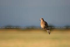 Голубь на загородке Стоковое фото RF