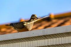 Голубь на крыше держа ручку на клюве Стоковая Фотография