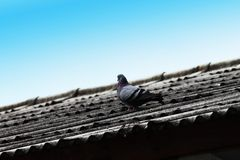Голубь на крыше Стоковые Изображения