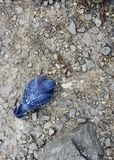 Голубь на скалистой земле в поиске еды стоковая фотография