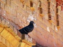Голубь на стене старого дома Стоковые Изображения RF