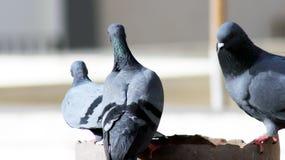 Голубь одно серого цвета кудели индийский питьевая вода в баке стоковые изображения