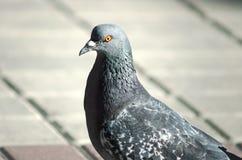 Голубь птицы города, конец-вверх стоковая фотография rf