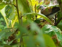 Голубь раненный в джунглях Стоковое Фото