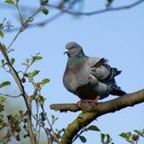 Голубь сидя в дереве с ясным голубым небом стоковые фото