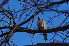 Голубь сидя на ветви дерева Стоковая Фотография