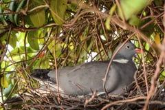 Голубь сидя на гнезде с яйцами стоковая фотография rf