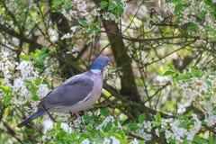 Голубь сидя на цветя ветви груши Стоковые Фотографии RF