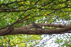 Голубь сиротливый на ветви в саде Стоковое фото RF