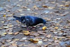 Голубь среди листьев осени стоковое фото rf