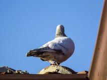 Голубь стоя на крыше, стоя самостоятельно в холодных, холодных голубях, небе голубя голубом и фото Стоковые Изображения RF