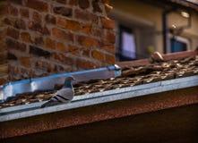 Голубь утеса на крыше Стоковое Фото