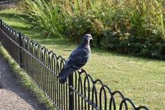 Голубь утеса - голубь утеса - природа Стоковое Изображение