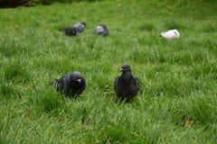 Голубь утеса - голубь утеса - природа Стоковые Фотографии RF