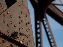 Голубь утеса прихорашиваясь на железнодорожной средней надстройке стоковые изображения rf