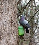 Голубь утеса сидит на ветви дерева стоковые фотографии rf