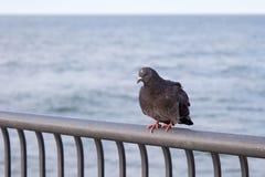Голубь утеса сидя на загородке Стоковое фото RF