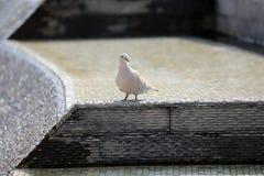 Голубь Collared eurasian в фонтане Стоковые Фотографии RF