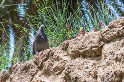 Голубь Columba Livia сидя на каменной стене в парке Guell стоковые изображения rf
