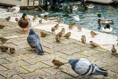 Голубь, starlings и утки Стоковая Фотография