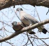2 голубя в влюбленности на дереве в природе Стоковое фото RF