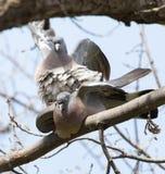 2 голубя в влюбленности на дереве в природе Стоковые Фотографии RF