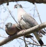 2 голубя в влюбленности на дереве в природе Стоковые Изображения RF