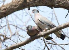 2 голубя в влюбленности на дереве в природе Стоковая Фотография