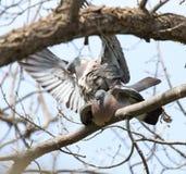 2 голубя в влюбленности на дереве в природе Стоковое Изображение RF