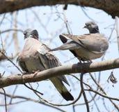 2 голубя в влюбленности на дереве в природе Стоковые Фото