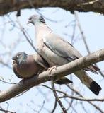 2 голубя в влюбленности на дереве в природе Стоковые Изображения