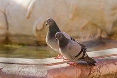 2 голубя в влюбленности отдыхая на фонтане Риме Нептуна, Италии Стоковая Фотография