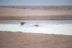 2 голубя имея ванну утра берегом на пляже Paarden Eiland на восходе солнца Стоковая Фотография RF