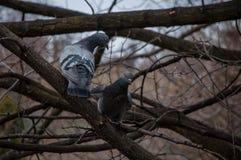 2 голубя на ветви Стоковые Фото