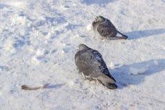2 голубя на поверхности предусматриванной с снегом и гололедью Стоковая Фотография RF