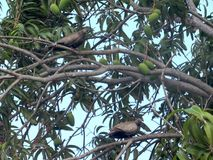 2 голубя одичалых табака устанавливая в дерево манго Стоковое Изображение RF