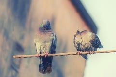 2 голубя отдыхая на стальном пруте Стоковое Фото