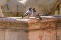 2 голубя отдыхая на фонтане Риме Нептуна, Италии Стоковые Изображения
