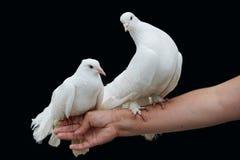 2 голубя сидя на нежной женской руке на изолированной черной предпосылке Стоковая Фотография RF
